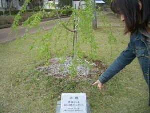 4月15日感謝の木 これ見て!