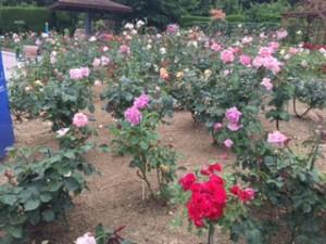 福山ばら園