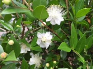 2015年ミルトスの花が咲きました。